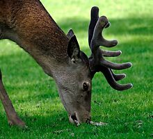 Male Red Deer Close-up  by Rod Johnson