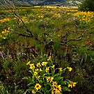 Idaho Wildflowers by Nolan Nitschke