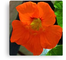 Bright Nasturtium............ Canvas Print