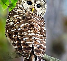 Barred Owl by Christina Rollo
