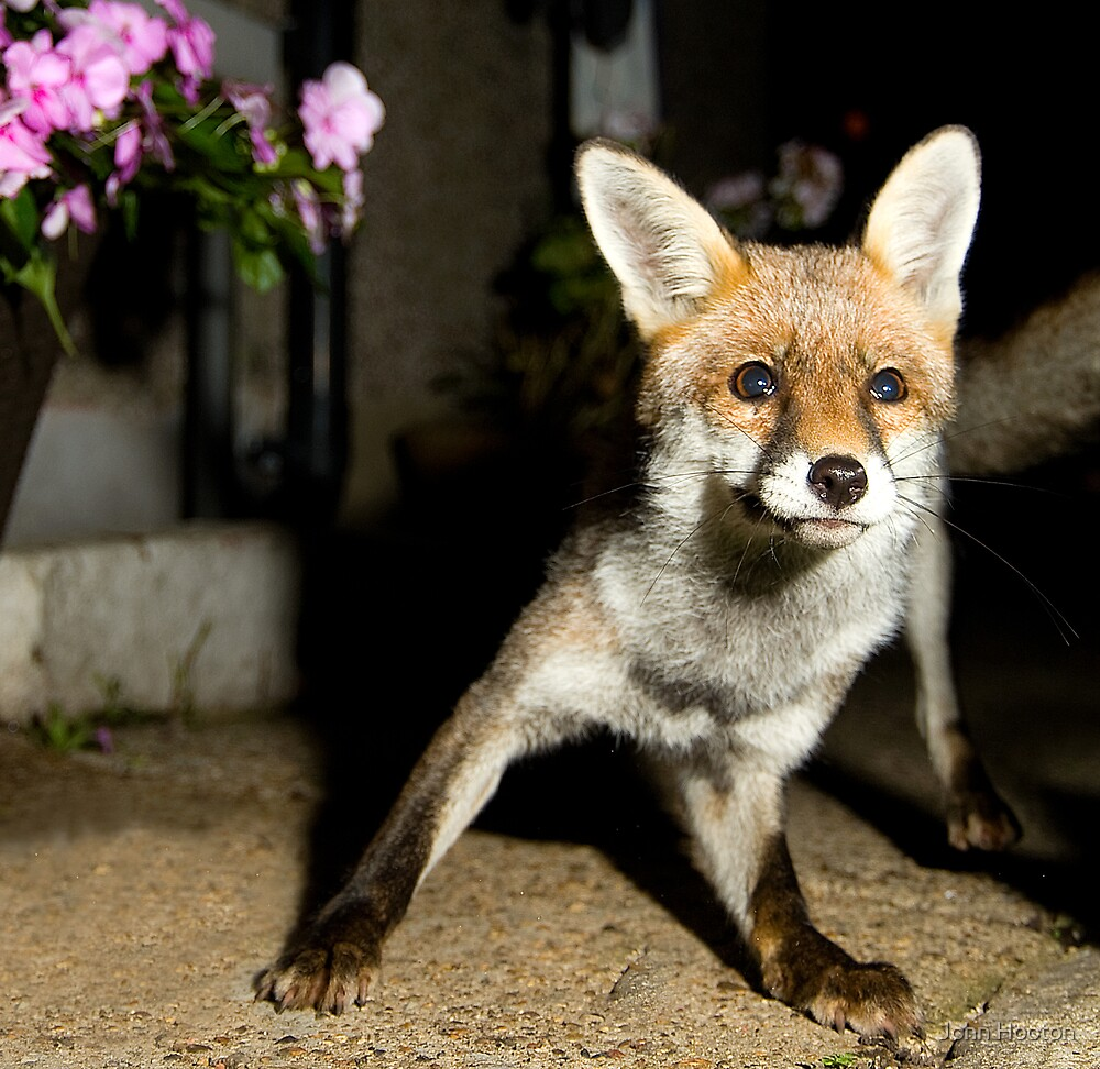 Paparazzi Snap Fox!  by John Hooton