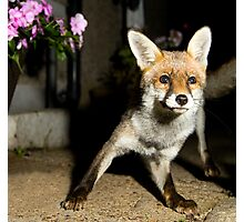 Paparazzi Snap Fox!  Photographic Print