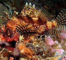Dwarf Lionfish by MattTworkowski