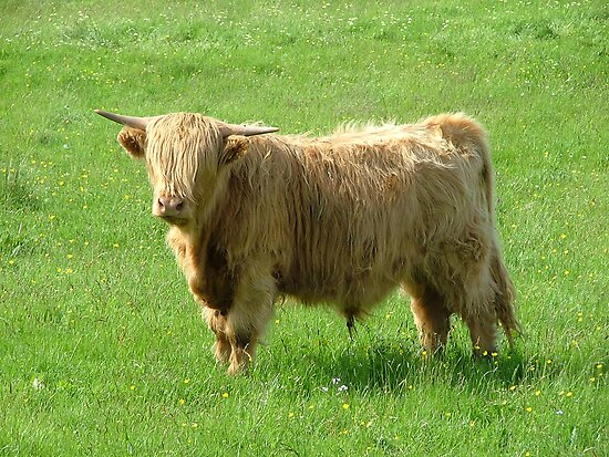 Highland cow by danman