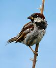 Juvenile male sparrow. by SWEEPER