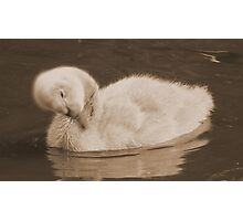 Cygnet In Sepia Photographic Print
