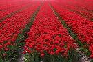 A Sea Of Red by Jo Nijenhuis