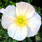 White California Poppy! by HEIDI  HORVATH