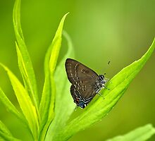 Banded Hairstreak Butterfly on Leaf by Christina Rollo