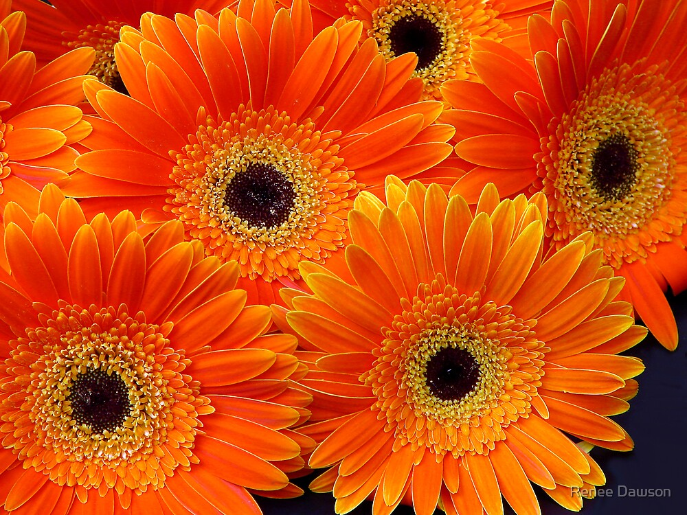 Gerbera Bouquet by Renee Dawson