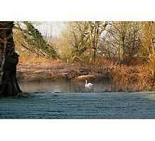 Swan on River Stour Photographic Print