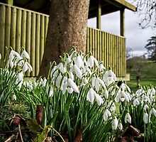 Snowdrops In Somerset by Susie Peek