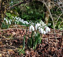 Snowdrops In Somerset 2 by Susie Peek