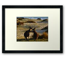 Kangaroos times two Framed Print