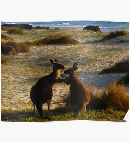 Kangaroos times two Poster
