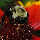 Bee Macro by Lynda   McDonald