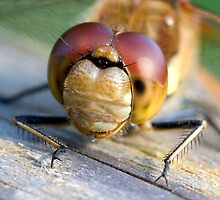Common Darter dragonfly at Martin Mere up close and personal by Shaun Whiteman