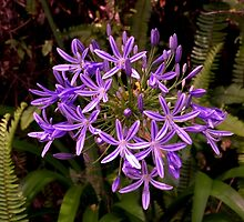Agapanthus in all their glory,  growing in the wild..........! by Roy  Massicks