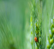 Ladybugs on Green Wheat by lisavonbiela