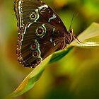 Big brown butterfly resting on the leaf by JBlaminsky