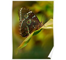 Big brown butterfly resting on the leaf Poster