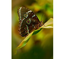 Big brown butterfly resting on the leaf Photographic Print