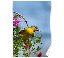 Female Baltimore Oriole Poster