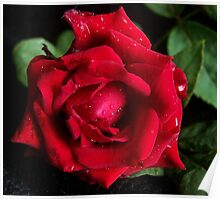 Raindrops on a Tea Rose Poster