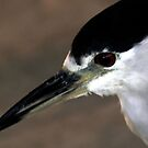 Black Crowned Night Heron by Anne Smyth