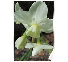 Creamy White and Lemon Daffodils Poster