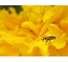 Weevil'o strut Photographic Print