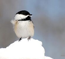 Summit Black Capped Chickadee by Christina Rollo