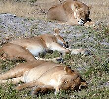 Lions at Moremi Game Reserve, Botswana by leet