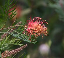 Grevillea Ned Kelly by Pauline Sykes