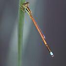 Damsel Fly by WendyJC