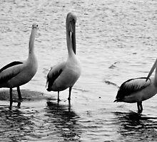 A Trio of Pelicans  by D-GaP