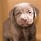 Chocolate Labrador Puppy 03 by Darren Allen