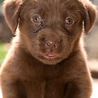 Chocolate Labrador Puppy 04 by Darren Allen