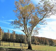 'I Stand Alone'! Damaged but alive after Adelaide Hills Bushfire! S.Aust. by Rita Blom