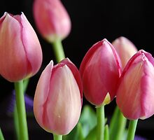 Tulips in colour by AndyKing
