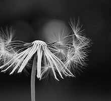 Dandelion (B&W) by JohnDSmith