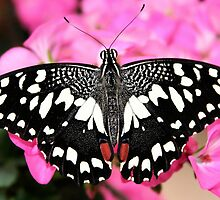 Black and White Beauty by Jo Nijenhuis