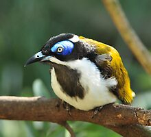 Blue Faced Honeyeater by Tom Newman