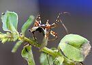 Assasin (Pristhesancus plagipennis) by Normf