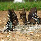 Butterfly Buffet by patsyspics