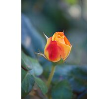 fall rose Photographic Print