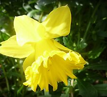 *Lovely Daffodil in the garden* by EdsMum