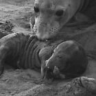 Mother And Baby Elephant Seals by CarolM