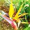 *Avatar/Strelitzia (Bird of Paradise) - Enchanted Flowers*