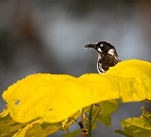 new holland honeyeater - ia by houenying